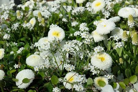 BdF_Trendpflanze Vergissmeinnicht.jpg: Die kleinen Blüten mit dem gelben Schlund kommen am schönsten