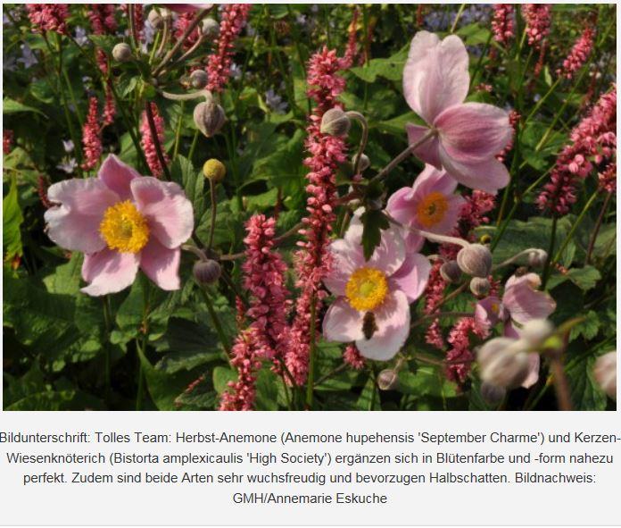 Bildunterschrift: Tolles Team: Herbst-Anemone und Kerzen-Wiesenknöterich GMH/Annemarie Eskuche